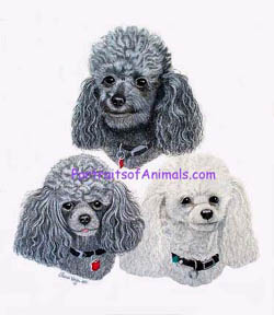 White and Grey Poodles Portrait
