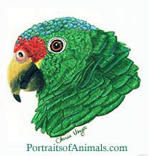 Red Lored Amazon parrot drawing- portrait by Cherie Vergos
