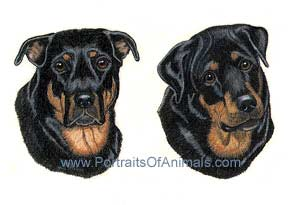 Rottweiler Dog Portrait - Pet Portraits by Cherie