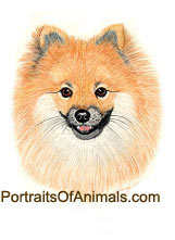 Pomeranian Puppy Dog Portrait - Pet Portraits by Cherie