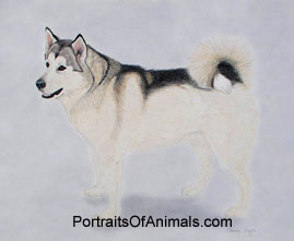 Alaskan Malamute Dog Portrait - Pet Portraits by Cherie