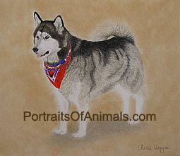 Alaskan Malamute Portrait - Pet Portraits by Cherie