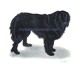 Newfoundland Portrait - Pet Portraits by Cherie Vergos