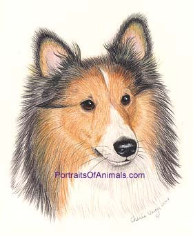 Sheltie Portrait - Pet Portraits by Cherie
