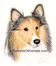 Sheltie Dog Portrait - Pet Portraits by Cherie