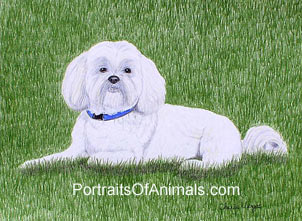 Lhasa Apso Dog Portrait - Pet Portraits by Cherie