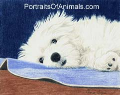 Havanese Puppy Portrait - Pet Portraits by Cherie