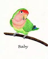 Peachfaced Lovebird Pet Portrait