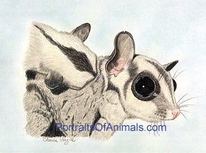 Sugar Glider mom and her baby